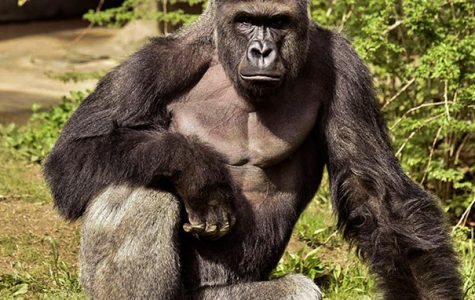 We're Going  Bananas for  Harambe